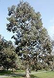 Future Exotics Eucalyptus gunnii Pflanze winterhart 40 - 50 cm