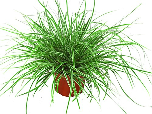 """Carex oshimensis \""""Everest\"""" - Segge - Ziergräser winterhart immergrün mehrjährig im 12 cm Topf für Balkonkasten, Steingarten, Grabbepflanzung , Beet"""