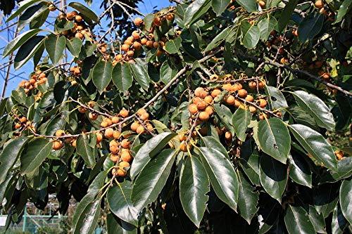 AGROBITS DiorosSee – Datum Pflaumenbaum