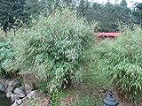 Garten-Bambus - Fargesia murielae - Der Klassiker!, Heckenbambus, robust, 40-60 cm