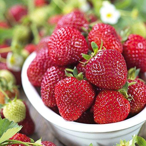 tomgarten Erdbeere 'Mara des Bois' | auch für den Kübel geeignet | starkes Aroma | winterhart und mehrjährig | 18er Pflanzen-Pack