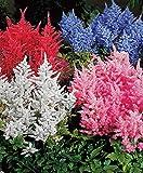 AIMADO Samen-50 Pcs Astilben gemischt Blumensamen Mischung wunderbare Blütenspitzen Garten Saatgut mehrjährig Winterhart, sehr geeignet für Halbschatten und Schattenplätze.