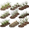 1 Riesen-Set mit 27 Tillandsien in mindestens 9 Sorten von exotenherz auf Du und dein Garten