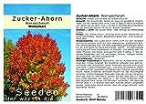 Seedeo® Zucker-Ahorn (Acer saccharum) 30 Samen