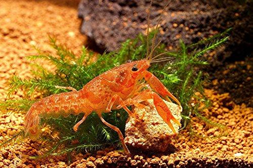 Oranger Zwergflußkrebs – CPO (DNZ) – Ein Paar (Männchen & Weibchen) - 2
