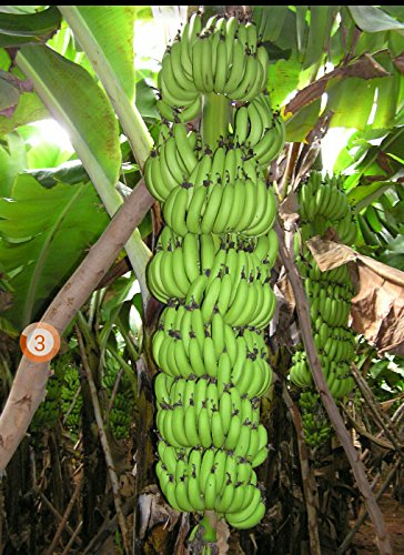 M-Tech Gardens Rare Kerala Robusta Banana 1 Rhizome for Planting Exotic Tropical Banana Plant