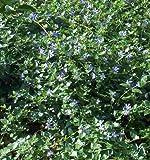 120 Vinca Stecklinge Bodendecker, immergrün