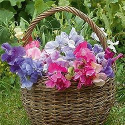 Süße Erbse Lathyrus Odoratus Samen duftende Kletterpflanze Kraut Blumensamen Garten Haus dekorative 20 teile/beutel