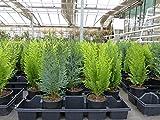 20 Premium winterharte Koniferen Zypressen Heckenpflanze Konifere Thuja