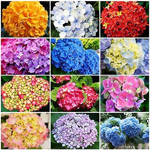 portal cool 50 pz semi perenni giardino domestico semi di ortensia bianca facile da coltivare vendita di fiori