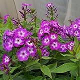 lichtnelke - Flammenblume (Phlox paniculata ' Laura ')