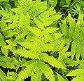 Japanischer Straußenfarn - Matteuccia orientalis von Baumschule auf Du und dein Garten