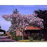 Dominik Blumen und Pflanzen, Blauglockenbaum, Paulownia fortunei,