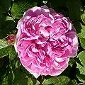 Garten-Schlüter Historische Rose 'Jacques Cartier' von Garten Schlüter bei Du und dein Garten