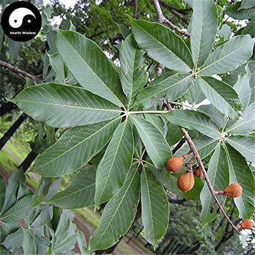 PLAT FIRM KEIM SEEDS: 10pcs: Kaufen Aesculus Baumsamen Pflanze Aesculus chinensis Sieben Blätter Baum