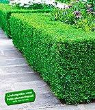 BALDUR-Garten Buchsbaum-Hecke