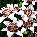 Asiatische Lilie Netty's Pride von Meingartenshop bei Du und dein Garten