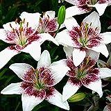 Asiatische Lilie Nettys Pride - 3 blumenzwiebeln