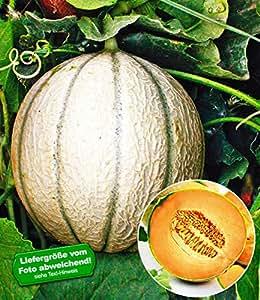 """BALDUR-Garten Veredelte Zuckermelone""""Sivan"""" F1;2 Pflanzen"""