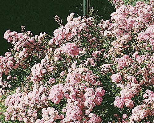 fairy rosen 'The Fairy', Rosen-Hochstamm in A-Qualität Wurzelware