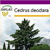SAFLAX - Big Garden - Himalaya Zeder - 35 Samen - Cedrus deodara