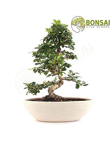 Casuarina equisetifolia she-oak Fantastic Bonsai 30 SEEDS AUSTRALIAN PINE