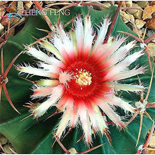 Pinkdose Nouveaux Arriva 30pcs / Paquet bureau Succulentes plantes plantes antiradiation cactus importées bonsaïs hybrides plantes à fleurs: vert clair