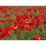 Papaver - CORN - FLANDERS - FIELD POPPY - 7000 seeds