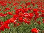 Papaver - CORN - FLANDERS - FIELD POP...
