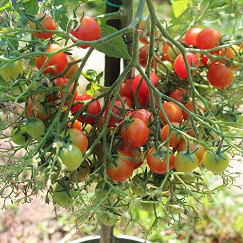 10 Samen Rose Quartz Tomate - riesige Fruchtstände, gutes Aroma Rose Tomate