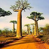 XdiseD9Xsmao 10 Piezas Raras Semillas De árbol Adansonia Digitata Baobab Semillas De Plantas De Hoja Verde Semillas De Plantas Exóticas Al Aire Libre Alta Germinación
