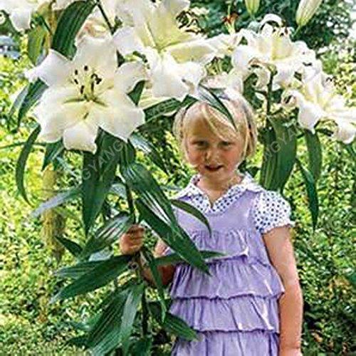 HOT Vente 200 PCS 25 couleurs Lily Graines Lis parfum bon marché Graines rares Couleur Flower Garden Usine de mélange différentes variétés jaune
