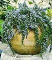 BALDUR-Garten Hänge-Rosmarin 'Capri', 3 Pflanzen Rosmarinus von Baldur-Garten - Du und dein Garten