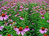 1000 Samen Echinacea purpurea, Purpur-Sonnenhut, Roter Scheinsonnenhut