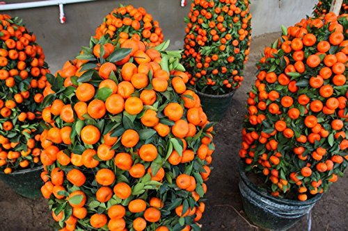 etsynet-100pcs-climbing-orange-seeds-mini-potted-edible-fruit-seeds-bonsai-china-top-quality-climbin