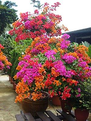 100% original de la alta calidad 20pcs de la mezcla de color Bougainvillea spectabilis Willd semillas de plantas bonsái plantadores de marihuana semillas de flores de la flor