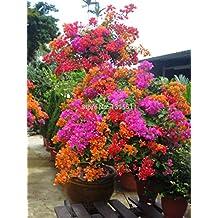 Bouganville pianta for Bouganville in vaso