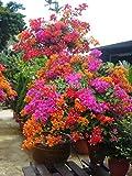 100% 20pcs Mix-color bouganville spectabilis Willd semi di piante bonsai vasi vaso semi di fiori fiore originale di alta qualità