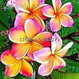 50 semillas Inicio Jardín Frangipani Plumeria rubra Lei flor del huevo regalo de semillas de plantas bonsái Muy Fácil plantas de interior flores