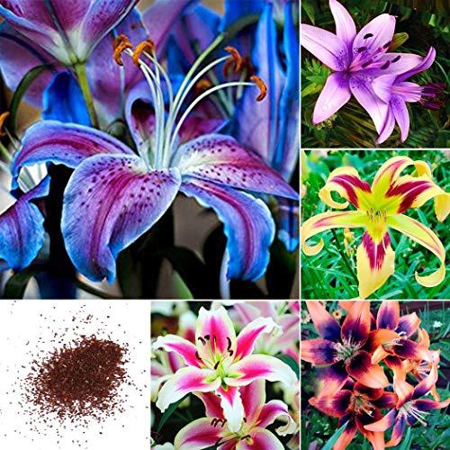 Ultrey Samenshop - 50 Stück Duftend Lilium Samen orientalische Lilien Samen gemischte Farben Blume Staude Blumensamen mehrjährig winterhart für Garten Balkon/Terrasse -
