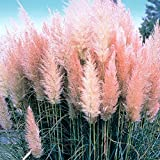 Cortaderia selloana Pink Feather - Pampas Grass
