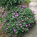 Blut Storchschnabel 'Max Frei' (Geranium sanguineum) - 1 Pflanze von Garten Schlüter auf Du und dein Garten