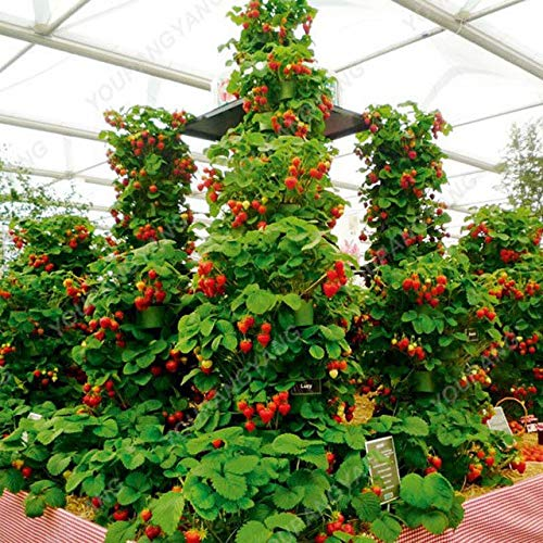 Shopmeeko 100pcs Strawberry Tree Bonsai Delicious Perennial Strawberry Bonsai Außenhof Indoor Bonsai Pflanzen DIY Hausgarten-Anlage: Erdbeer-Baum