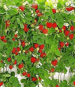 baldur garten h nge erdbeere hummi 3 pflanzen amazon. Black Bedroom Furniture Sets. Home Design Ideas