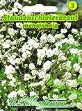 Staudenschleierkraut Schleierkraut weiß Gypsophila paniculata mehrjährig