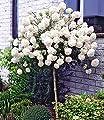 BALDUR-Garten Schneeball-Stämmchen, 1 Pflanze Viburnum Eskimo auf Stamm von Baldur-Garten - Du und dein Garten