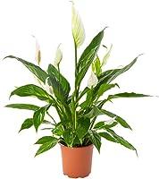 AIRY Einblatt Zimmerpflanze, Spathiphyllum(17 cm Topf). Natürlicher Luftreiniger verbessert das Raumklima. Passend zum AIRY Blumentopf