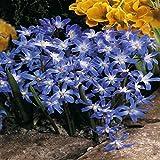 Schneestolz blau - 20 blumenzwiebeln