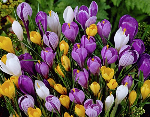 25 Mixed Crocus Bulbs Ready to Plant (Free Postage UK)