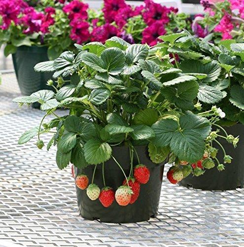 grandes favorablement environ 10cm de haut semences 50 semences / paquet